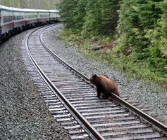 Grizzly bear on the tracks!