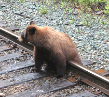 Bear seen from the Rocky Mountaineer