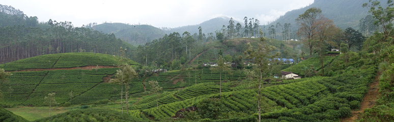 Tea plantations between Hatton and Nanuoya