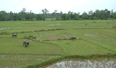 Water buffalo and rice fields seen from the train