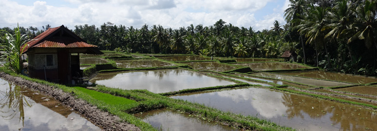 The rice paddies of Ubud