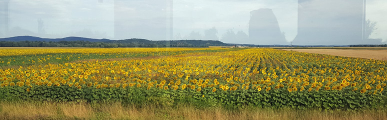Sunflowers seen from the train from Budapest to Zagreb